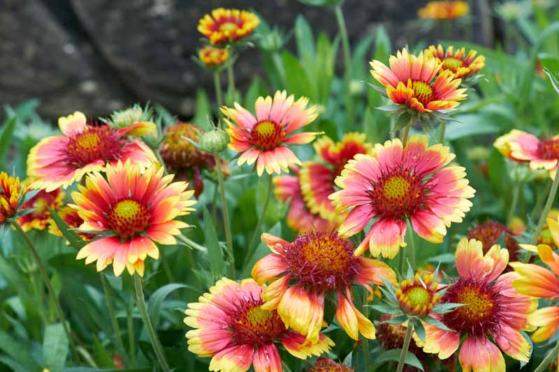 Gaillardia (Blanket Flowers) in full bloom.