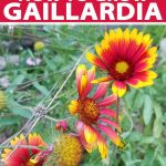 Vertical image of red and yellow Gaillardia flowers, with green stems and leaves, printed with red and white text.