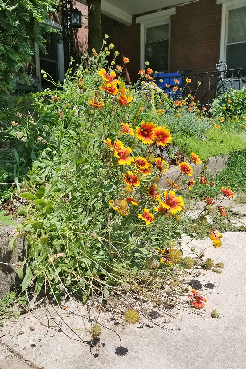 A large cluster of tall blanket flowers with red and yellow petals and centers, long stems, and green leaves, leaning over a cement sidewalk, in front of a brick house.