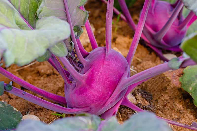 Purple Kohlrabi growing in a veggie garden.