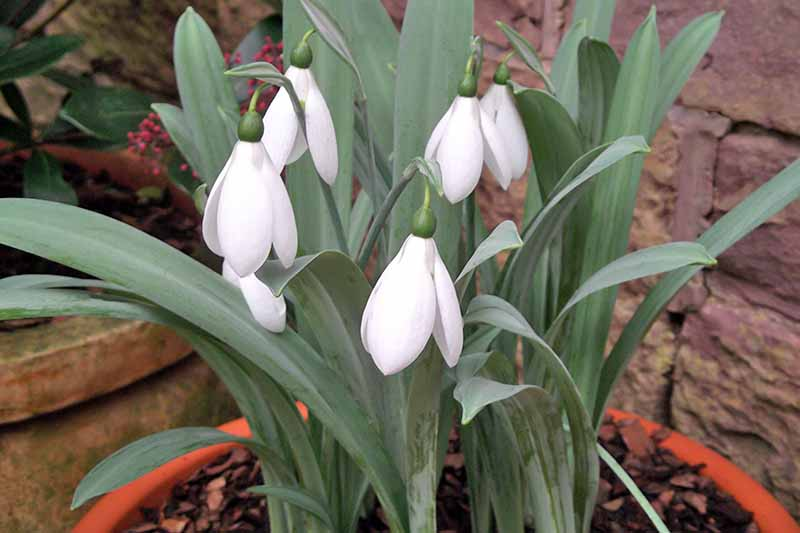 Potted white snowdrops with gray-green leaves and stems growing in mulch-covered brown soil in a terracotta pot, in front of a stone wall and another plant container.