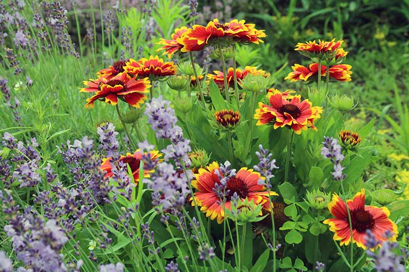 Red and yellow blanket flowers growing with lavender and clover in a garden bed.