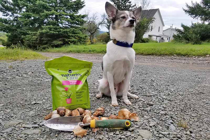 A small gray and white dog with a black collar sits to the right of a green plastic back of organic bone meal fertilizer, a pile of flower bulbs, and spade with a yellow and dark green handle, on a gravel driveway with a tall green evergreen, a white house, other trees, and a green lawn in the background.