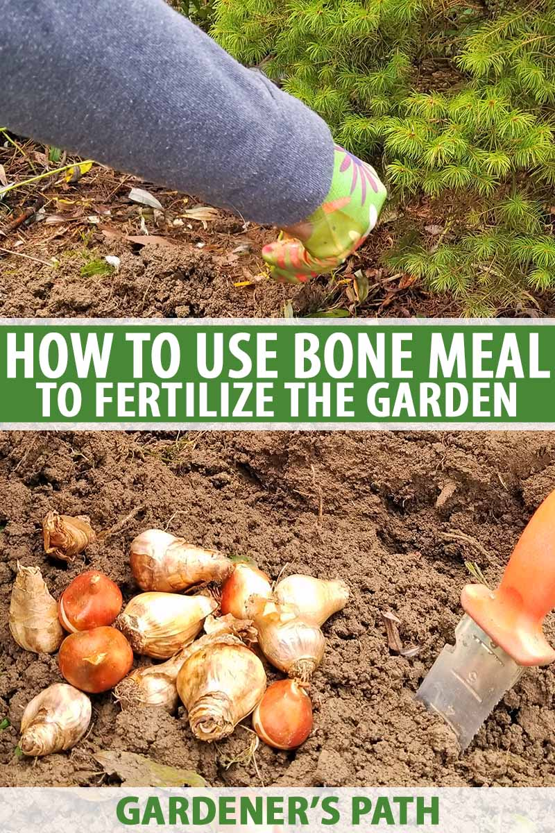 Vertical image of a green gloved hand and arm clothed in a gray sleeve sprinkling bone meal onto loose brown soil in a garden bed, with a pile of flower bulbs and a soil knife with an orange handle, printed with green and white text.