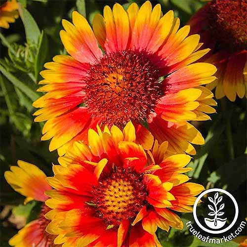 Yellow and orange 'Indian Blanket' Gaillardia flowers in bright sunlight.