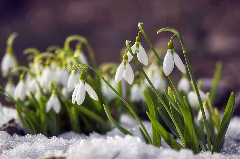 White Galanthus flowers with green stems and leaves grow out of snow-covered ground in bright sunshine.