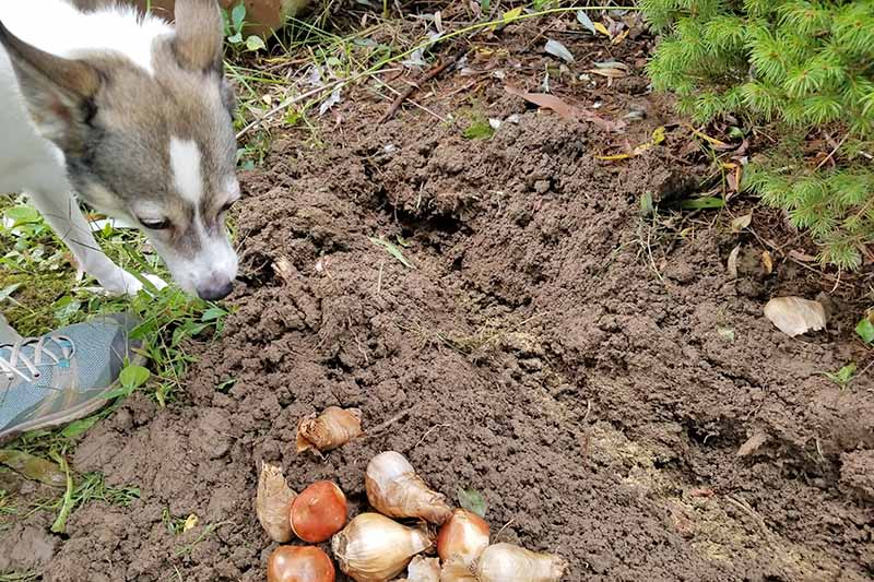 A small gray and white dog inspects a bed of loose soil with a sneakered foot to the left and a pile of brown flower bulbs at the bottom of the frame, and an evergreen plant at the right.