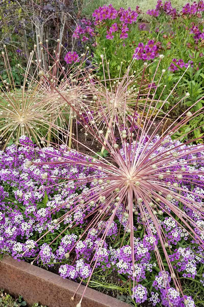 Alliums, purple and white sweet alyssum, and purple Peruvian lily with green leaves and stems growing in the background of a flower bed with a brown painted metal border.