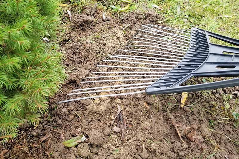 Closeup closely cropped shot of a metal and plastic rake working bone meal into loose soil, with grass to the right and an evergreen shrub to the left.