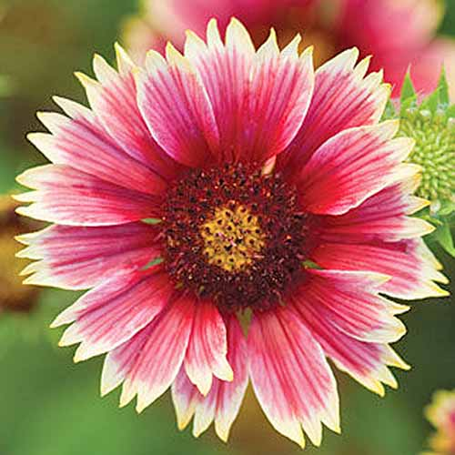 Overhead closeup shot of a pink and white 'Punch Bowl' hybrid blanket flower.