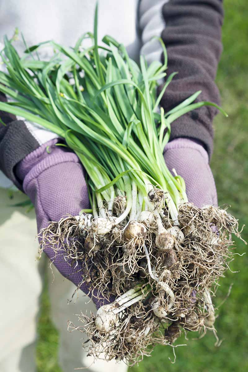 Closeup closely cropped vertical image of a person wearing khaki pants and a dark and light gray sweatshirt with light purple heather gloves holds a cluster of snowdrop bulbs with green leaves growing on top, with a green lawn in the background.