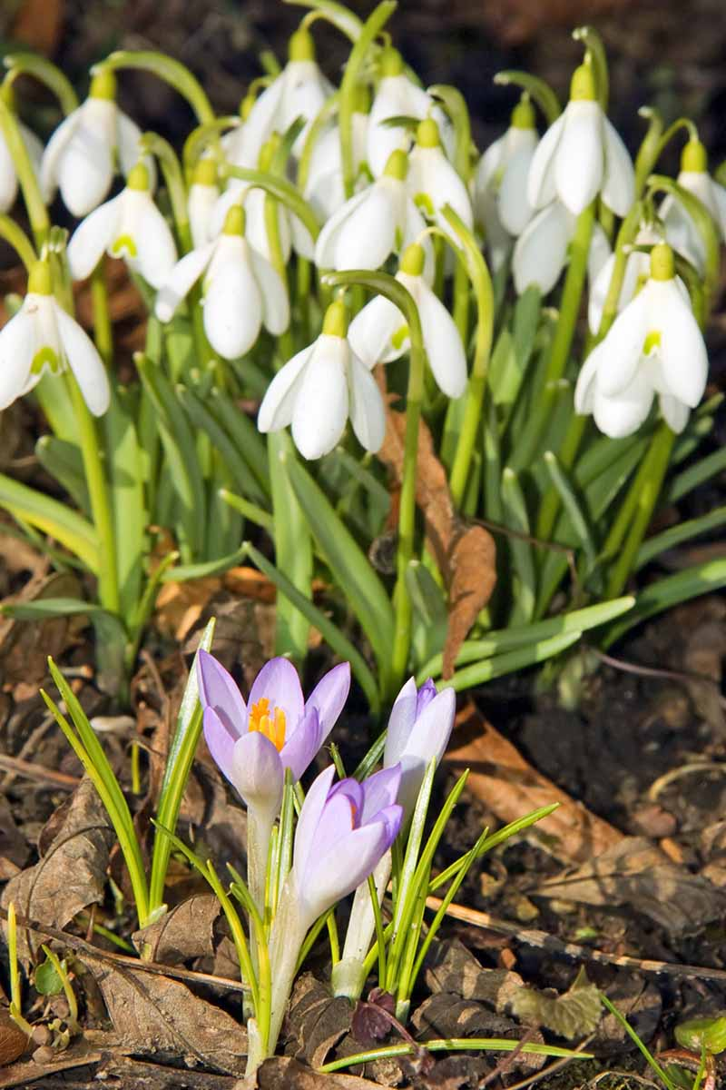 Purple crocus and white snowdrops growing in bright sunshine in earth topped with brown leaves.