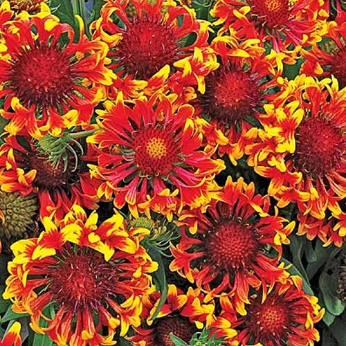 Square image of many 'Sun Devil' Gaillardia flowers with curled petals, filling the frame.