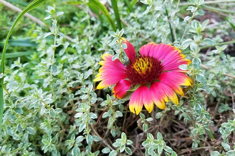 Closeup of a single yellow and red Gaillardia blossom, surrounded by variegated thyme in the garden.