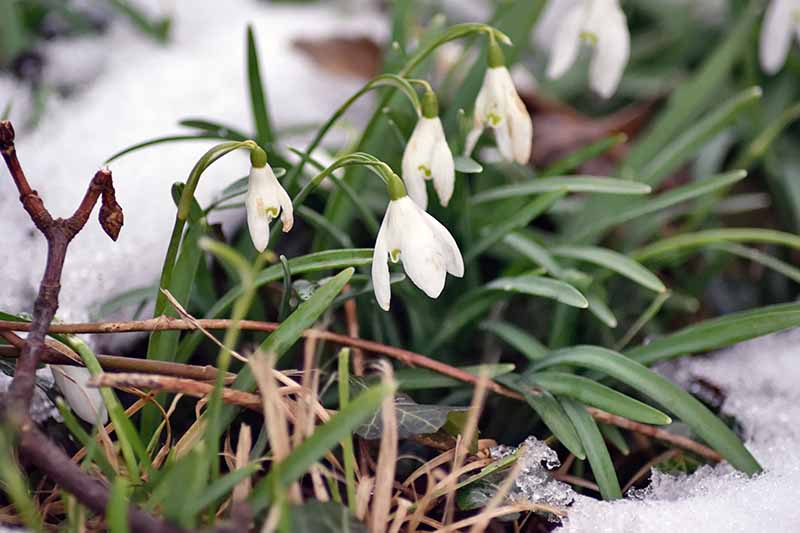 Galanthus blooms with white petals and green foliage growing in the snow, with bare twigs.