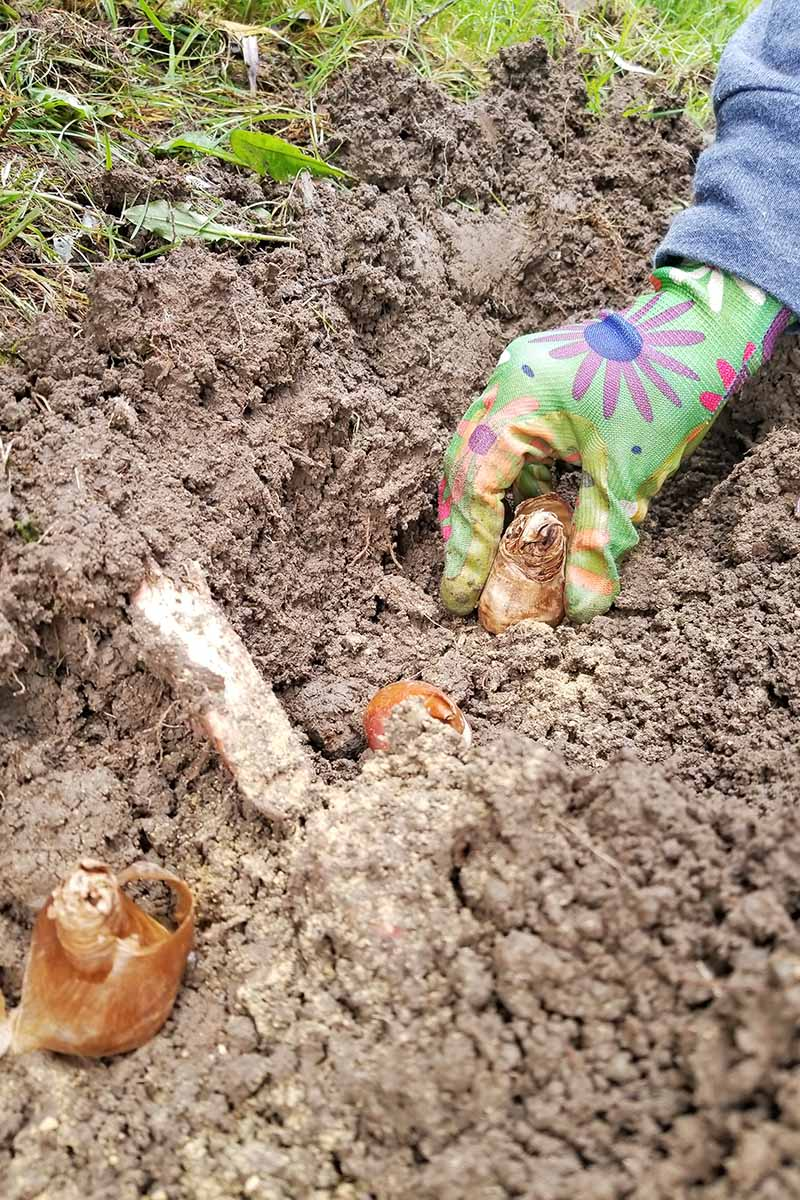 A row of brown papery flower bulbs is planted in loose soil with a hand in a green flower patterned garden glove planting another at the right side of the frame, with green grass.