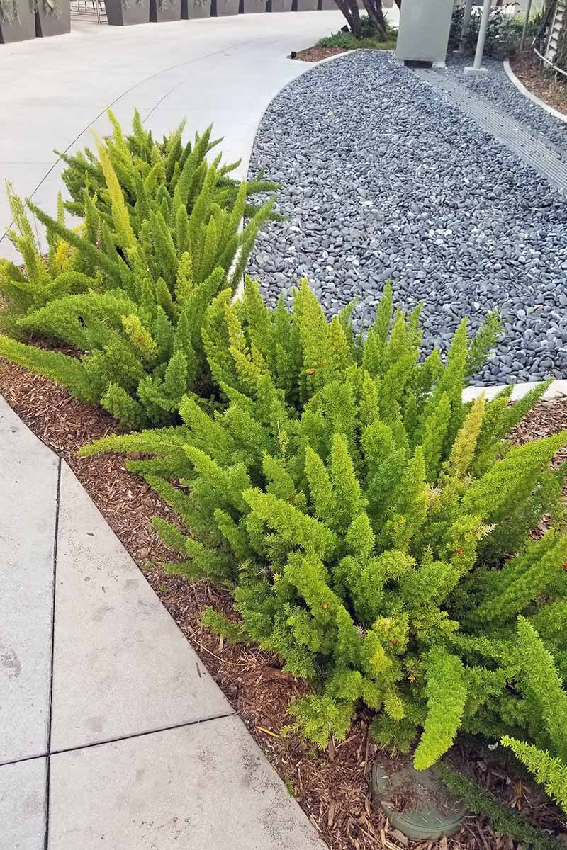 Vertical image of a row of green foxtail ferns growing in a strip of soil topped with wood mulch, between a sidewalk to the left and an area of crushed stone to the right.