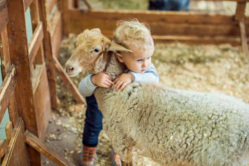 A little girl toddler hugs a sheep inside of a barn.