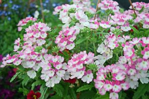 Take the Fuss Out of Verbena: A Growing Guide
