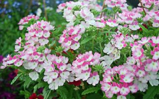 Bicolor pink and white verbena flowers
