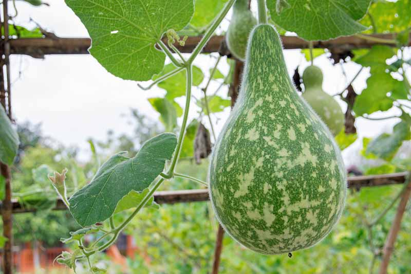 A green birdhouse gourd hangs from a vine attached to bamboo support.