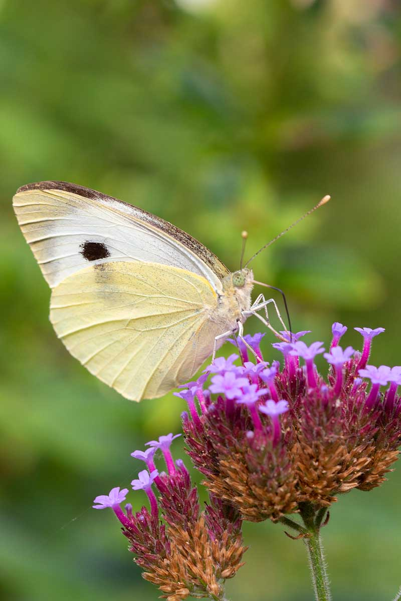 A butterfly sits on top of a purple verbena bloom cluster.