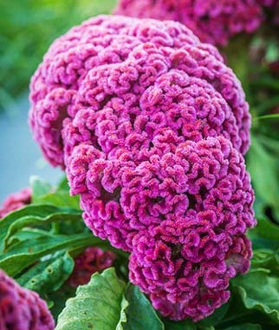 .Close up of Celosia, King Coral.