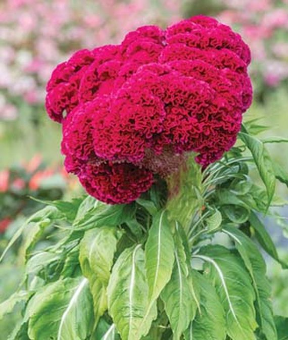 .Close up of Celosia, Red Velvet Cake.