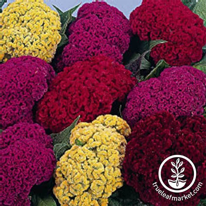 Crested Armor Mix Celosia