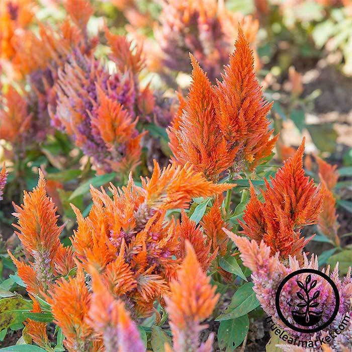 Close up of Celosia Seeds - Plumed - Fresh Look Series.
