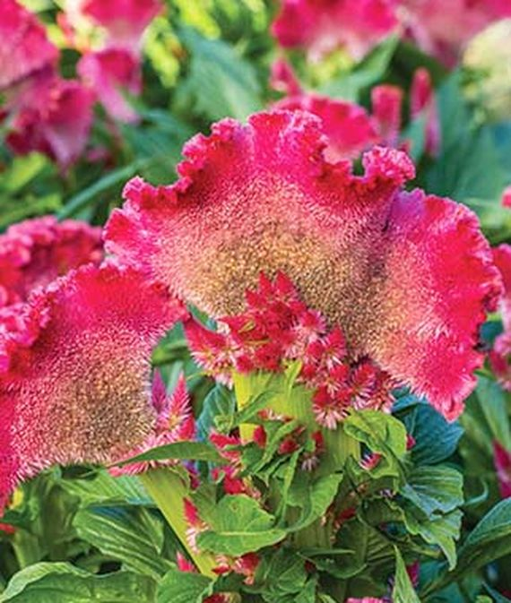 Close up of Fan Dance Scarlet Celosia cristata.