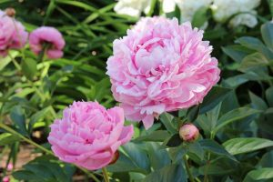 Plant a Classic: Perennial Peony