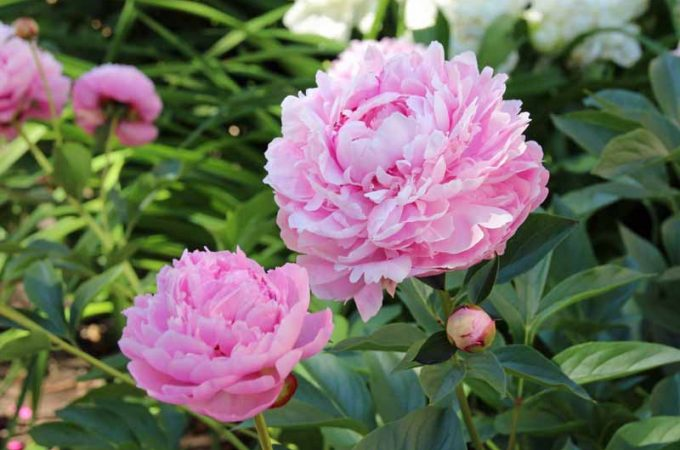 A close up photo of two pink herbaceous peony blooms.