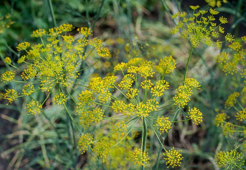 A close up horizontal image of a mature fennel plant with small yellow flowers going to seed in a herb garden.