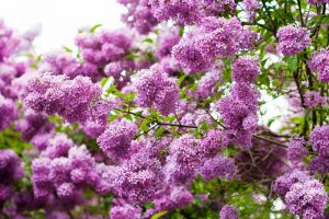 19 Fragrant Flower and Shrub Favorites for Your Garden