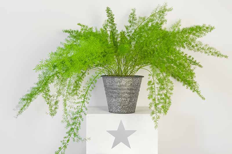 A potted light green asparagus fern in a gray metal container, on a white pedestal with a decorative gray star on the front, on a light gray background.
