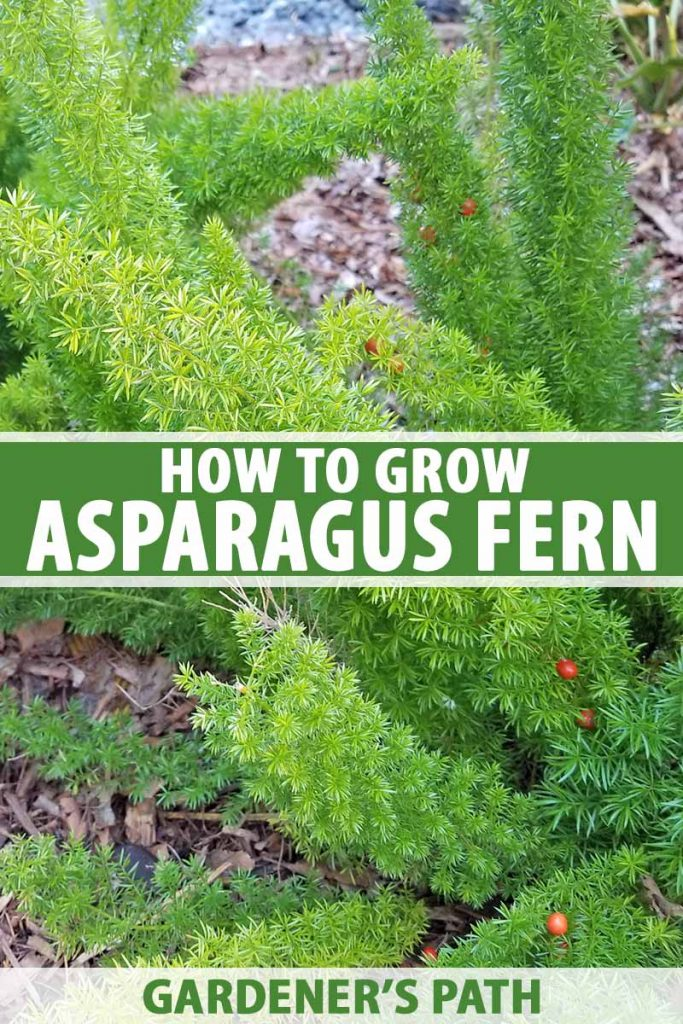 Vertical closeup image of asparagus fern plants with small red berries, growing in earth topped with brown wood chip mulch, printed with green and white text.