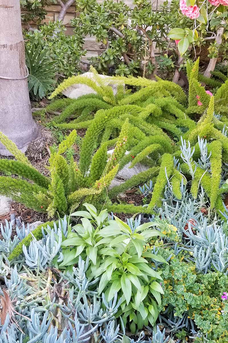 Vertical image of asparagus ferns, succulents, and other plants in a garden bed, with a tree trunk in the background.