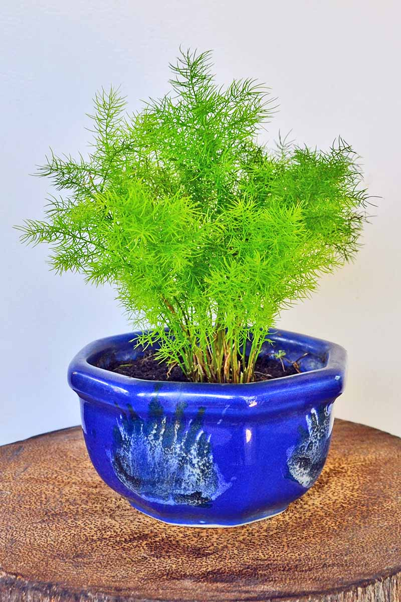 Vertical image of a small asparagus fern in a blue ceramic container, on a brown wood surface with a gray background.