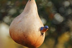 Grow Your Own Birdhouses with These Decorative Gourds