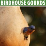An Eastern Bluebird pokes his head out of a birdhouse gourd.
