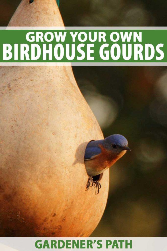 An Eastern Bluebird pokes his head out of a birdhouse gourd.