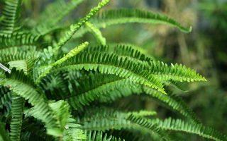 Sword fern in a shady backyard.