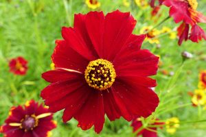 Easy-Care Coreopsis Rewards with Beautiful Blooms