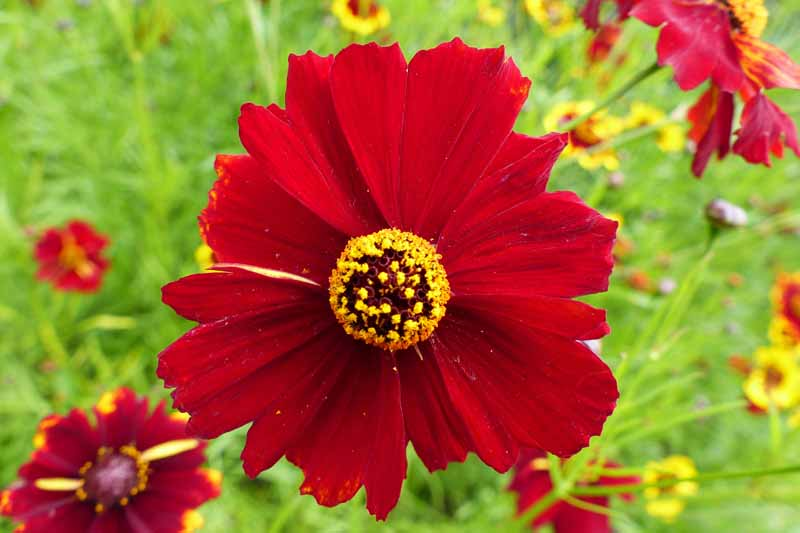 A single red coreopsis bloom.