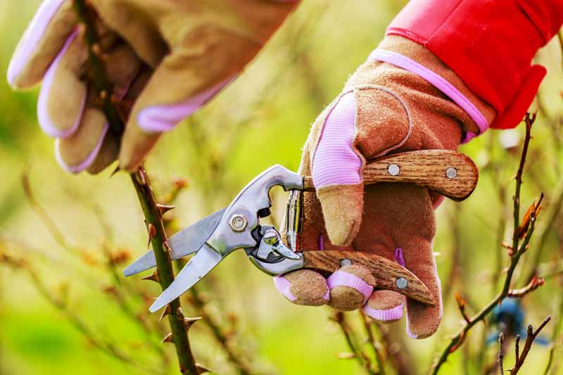 Gloved human hands use pruners to trim roses in the early spring.