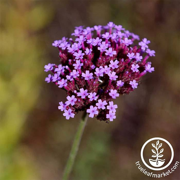 A close up of a cluster of Imagination Verbena flowers.