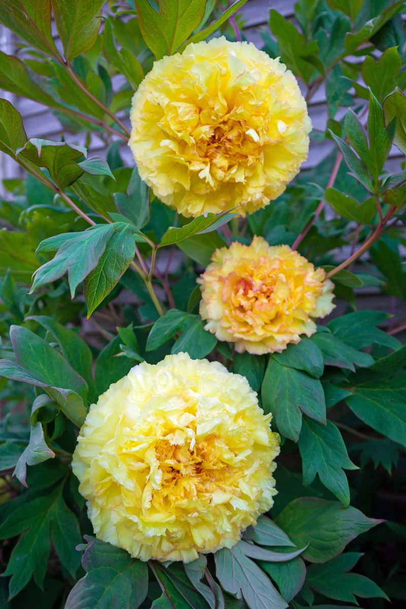 Three large yellow blooms of the Intersectional Itoh hybrid 'Bartzella'