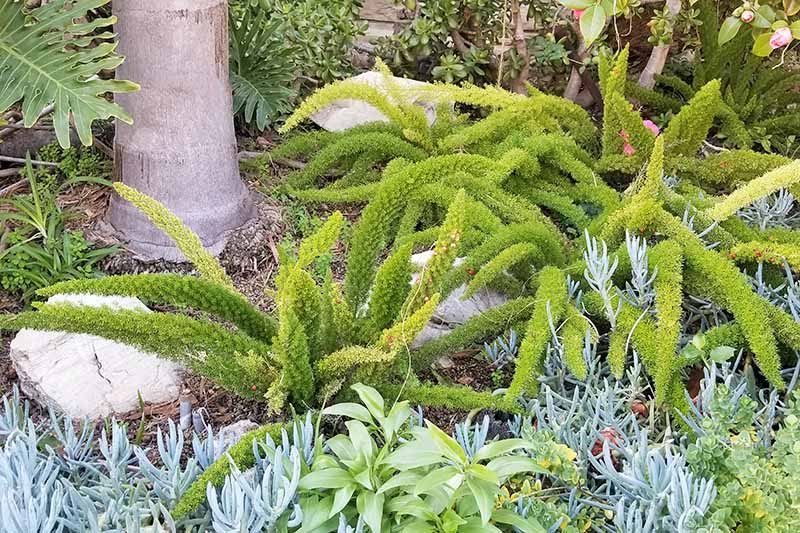 Horizontal image of two large foxtail fern plants, in a garden bed in the southwestern United States with succulents and other plants.