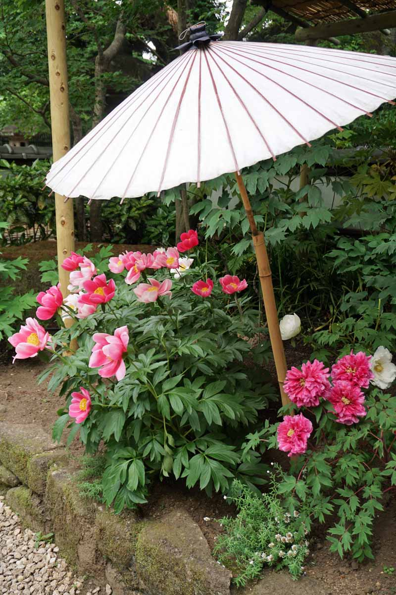 A vertical image of peony plants growing in the garden under a Japanese style umbrella.